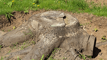 Chemically Treated Stumps