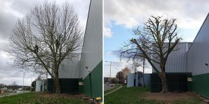 before and after tree surgery