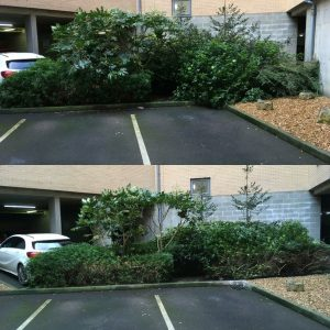Shrub Pruning Before and After