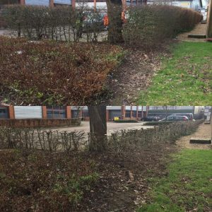 Reducing Beech Hedges